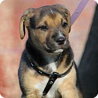 Adopt A Pet :: Rose - SOUTHINGTON, CT