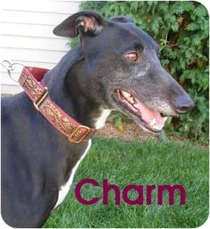 Greyhound Dog for adoption in Fremont, Ohio - Charm