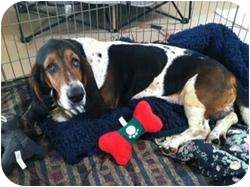 Basset Hound Mix Dog for adoption in Acton, California - Dodger