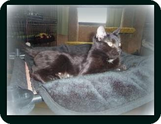 Havana Brown Cat for adoption in Medford, Wisconsin - RAVEN(ADOPTION FEE WAIVED)