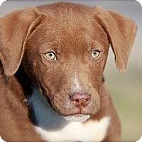 Adopt A Pet :: Blaze - Albany, NY