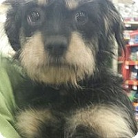 Adopt A Pet :: Jeremy - wirey cutie - Phoenix, AZ