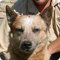 Adopt A Pet :: Ranger - white settlment, TX