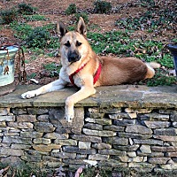 "German Shepherd Dog/Shepherd (Unknown Type) Mix Dog for adoption in Media, Pennsylvania - PHOENIX ""OUR HERO"""