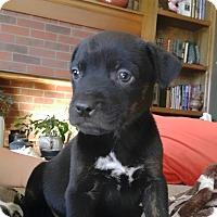 Adopt A Pet :: Blue - Westminster, CO