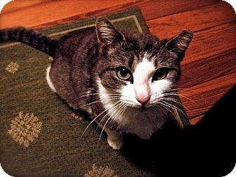 Domestic Shorthair Cat for adoption in Jersey City, New Jersey - Echo