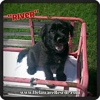 Adopt A Pet :: River - Seaford, DE