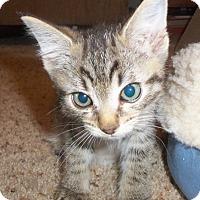 Adopt A Pet :: Koro - Colorado Springs, CO