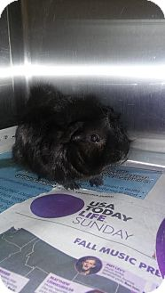 Guinea Pig for adoption in Olivet, Michigan - Boomer