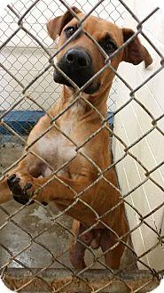 Boxer/Rhodesian Ridgeback Mix Dog for adoption in Cleveland, Mississippi - JANGO