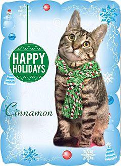 Domestic Shorthair Kitten for adoption in East Brunswick, New Jersey - Cinnamon