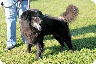 Chow Chow/Labrador Retriever Mix Dog for adoption in Manahawkin, New Jersey - Buddy