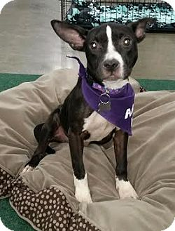 Terrier (Unknown Type, Medium) Mix Dog for adoption in Detroit, Michigan - Chelsea - Foster Needed