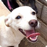 Dachshund Mix Dog for adoption in Phoenix, Arizona - Uma