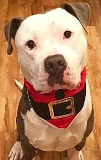 American Staffordshire Terrier Mix Dog for adoption in San Diego, California - Treble