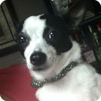 Chihuahua Mix Dog for adoption in Bucks County, Pennsylvania - Anna