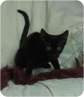 Domestic Shorthair Kitten for adoption in Little Rock, Arkansas - Taylor