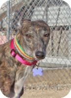 Greyhound Dog for adoption in Tucson, Arizona - Jill