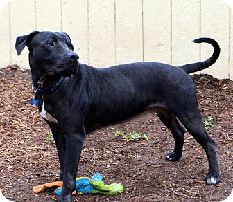 Mastiff Mix Dog for adoption in Houston, Texas - Rosebud