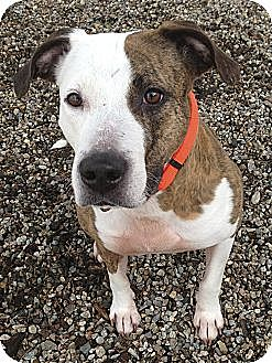 American Pit Bull Terrier Mix Dog for adoption in Dennis, Massachusetts - DIAMOND