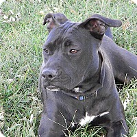 American Pit Bull Terrier Mix Dog for adoption in Okmulgee, Oklahoma - Penny