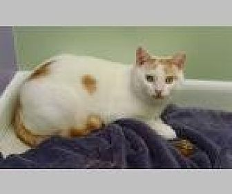 Domestic Shorthair Cat for adoption in Pittsboro, North Carolina - Charlie