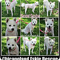 Adopt A Pet :: Sassy Sasha - Elmhurst, IL