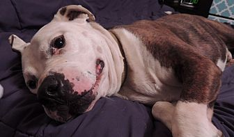 Pit Bull Terrier Mix Dog for adoption in Trenton, New Jersey - Pops