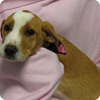 Adopt A Pet :: Thisbe - Charlemont, MA