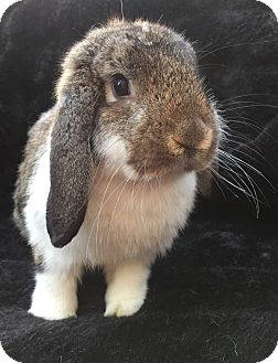Lop-Eared Mix for adoption in Watauga, Texas - Alistair