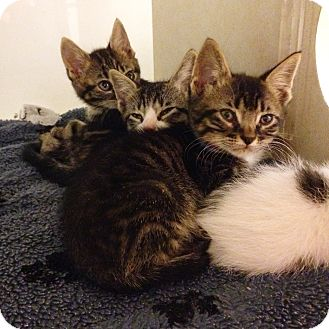 Domestic Shorthair Kitten for adoption in Dallas, Texas - Briskette