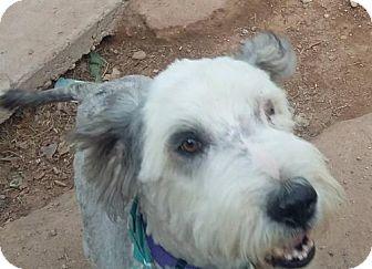 Old English Sheepdog/Australian Shepherd Mix Dog for adoption in Peralta, New Mexico - **NOAH