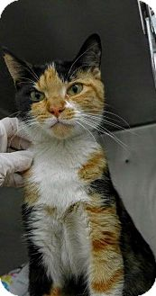 Calico Cat for adoption in Libertyville, Illinois - Zula