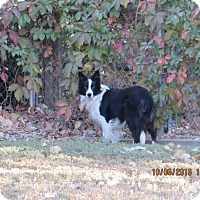 Border Collie Dog for adoption in Nampa, Idaho - IZZY