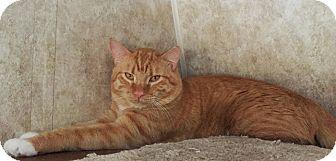 Domestic Shorthair Cat for adoption in Colorado Springs, Colorado - Ector