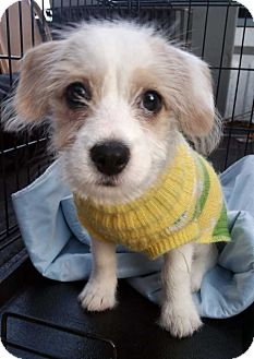Jack Russell Terrier/Terrier (Unknown Type, Small) Mix Puppy for adoption in New York, New York - Bree! *Adoption Pending*
