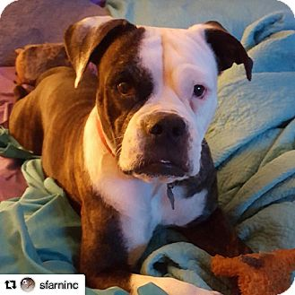 Boxer/American Bulldog Mix Dog for adoption in Miami, Florida - Momma