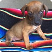 Adopt A Pet :: Maple - Lindale, TX