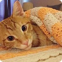 Domestic Shorthair Cat for adoption in Philadelphia, Pennsylvania - Edan