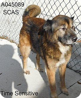 Chow Chow/Labrador Retriever Mix Dog for adoption in Lake Panasoffkee, Florida - JoJo