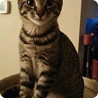 Domestic Shorthair Kitten for adoption in San Antonio, Texas - Maverick