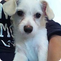 Adopt A Pet :: Buddy - Berkeley, CA