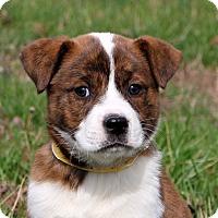 Adopt A Pet :: Cadbury Girly~adopted! - Glastonbury, CT