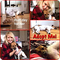 Beagle/Jack Russell Terrier Mix Dog for adoption in Toronto, Ontario - COLAS