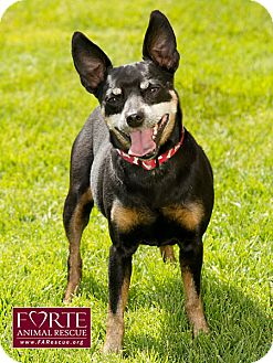 Manchester Terrier/Lancashire Heeler Mix Dog for adoption in Marina del Rey, California - Rocky