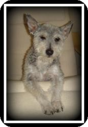 Schnauzer (Miniature)/Poodle (Miniature) Mix Dog for adoption in Indian Trail, North Carolina - Mowgli