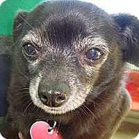 Adopt A Pet :: Danny Boy - Carrollton, TX