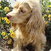 Adopt A Pet :: Aphrodite - Sugarland, TX