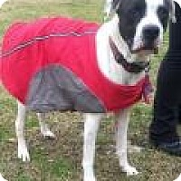 Pointer/Pit Bull Terrier Mix Dog for adoption in Summerville, South Carolina - Stormy