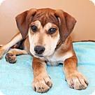 Adopt A Pet :: PUPPY BECKY